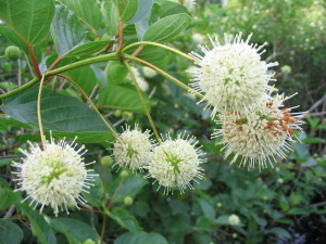 Flower  Buttonbush